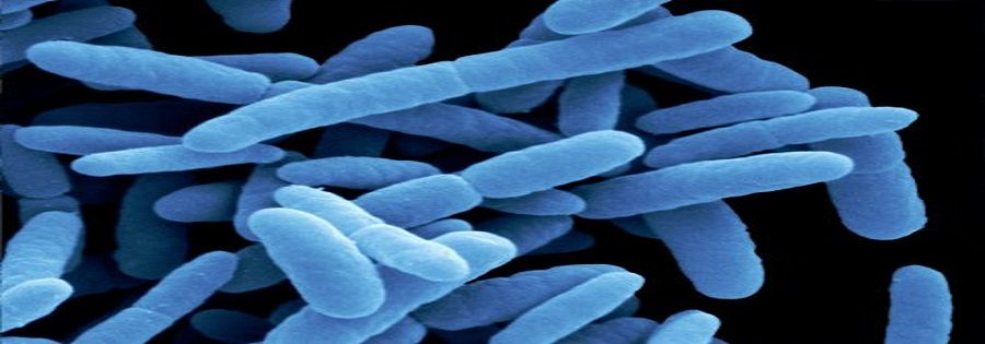 Escherichia coli bacteria by scanning electron microscopy (SEM). E. coli are present in the intestinal contents of aniamls and are thus also called the intestinal rods. They are used as indicators of contamination with fecal material. In the past, some of